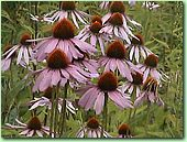 photo Echinacea purpurea Moench